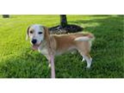 Adopt STAN a Tan/Yellow/Fawn - with White Basset Hound / Mixed dog in LaGrange