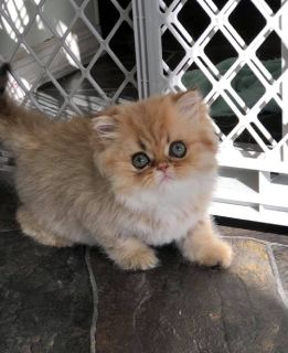 CFA Registered Golden Chinchilla Female Kitten