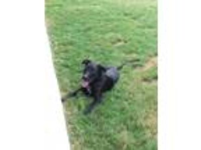 Adopt Scout a Brindle Labrador Retriever / Mixed dog in Schertz, TX (22979602)
