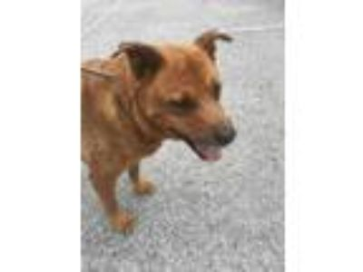 Adopt Bailey a Brown/Chocolate Labrador Retriever / Mixed dog in Land O'Lakes