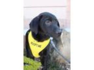 Adopt Mamba GC a Black Dachshund / Labrador Retriever / Mixed dog in Von Ormy