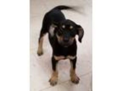 Adopt Boomer a Black - with Tan, Yellow or Fawn Dachshund / Rat Terrier / Mixed