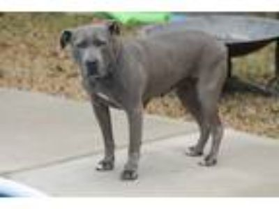 Adopt Ice Cream a Gray/Blue/Silver/Salt & Pepper American Pit Bull Terrier /