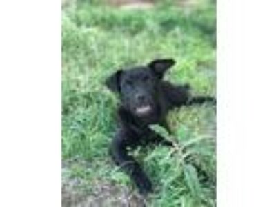 Adopt Inky a Pit Bull Terrier