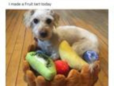Adopt Angus a Jack Russell Terrier, Poodle