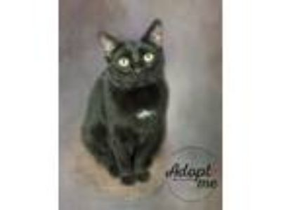 Adopt Thompson a Manx / Mixed cat in Belton, MO (25795536)