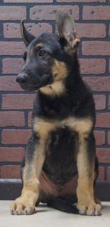 German Shepherd Dog PUPPY FOR SALE ADN-96365 - Amazing AKC German  Shepherd Puppies