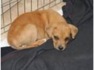 Adopt Luna a Tan/Yellow/Fawn Beagle / Labrador Retriever / Mixed dog in Hilton