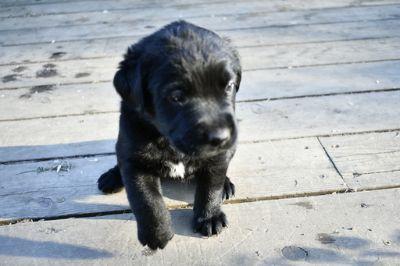 Saint Bernard-Labrador Retriever Mix PUPPY FOR SALE ADN-80601 - One female available to new home now