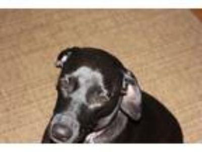 Adopt Betty a Black Pointer / Vizsla dog in Roanoke, VA (24783413)