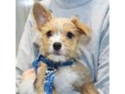 Adopt Hutch a Tan/Yellow/Fawn Mixed Breed (Small) / Mixed dog in Lansing