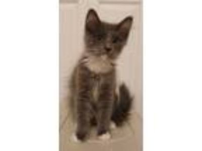 Adopt Roman a Gray or Blue (Mostly) Maine Coon cat in Lorton, VA (25646124)