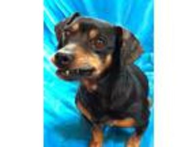 Adopt Gunner a Black - with Brown, Red, Golden, Orange or Chestnut Dachshund /