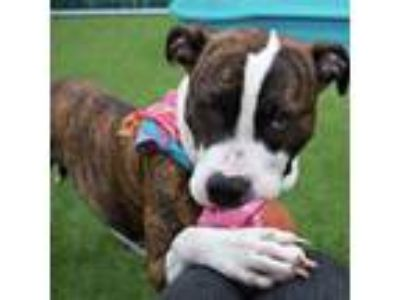Adopt Duchess a Brindle Pit Bull Terrier dog in Glen Cove, NY (24095180)