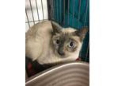Adopt Jane a Spotted Tabby/Leopard Spotted Siamese / Mixed cat in Calimesa