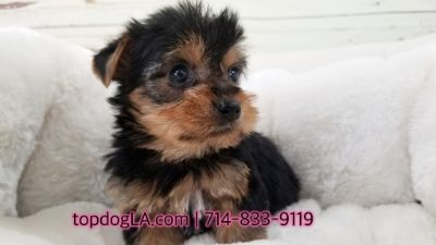 Yorkshire Terrier PUPPY FOR SALE ADN-69454 - Yorkshire terrier Female Yale