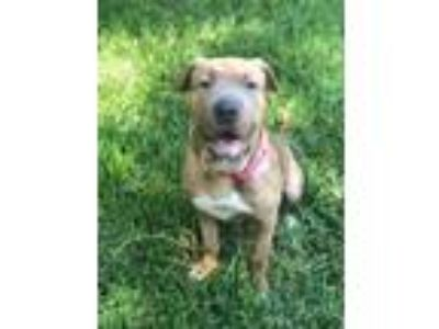 Adopt Candy a Shar-Pei, Pit Bull Terrier