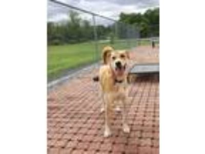 Adopt Heidi a Red/Golden/Orange/Chestnut Labrador Retriever / Mixed dog in