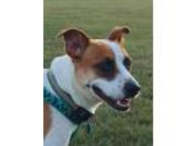 Adopt Maggie a Tricolor (Tan/Brown & Black & White) Boxer / Mixed dog in