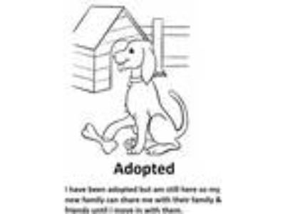Adopt Layla a Black - with Tan, Yellow or Fawn Dachshund / Mixed dog in