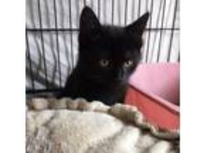 Adopt Sawyer a All Black Domestic Shorthair (short coat) cat in Lombard