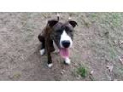 Adopt Macabee a Brindle Boxer / American Staffordshire Terrier / Mixed dog in