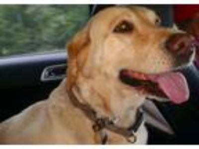 Adopt Natchitoches Parish a Labrador Retriever