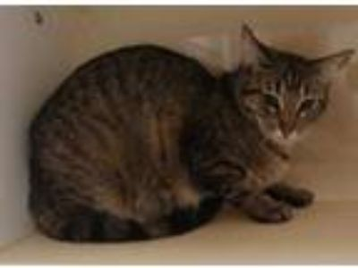 Adopt Punkin a Gray or Blue Domestic Shorthair / Domestic Shorthair / Mixed cat