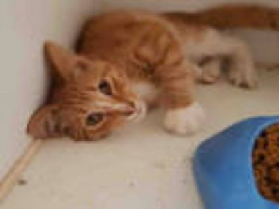 Adopt OTTIS a Orange or Red Tabby Domestic Shorthair / Mixed (short coat) cat in