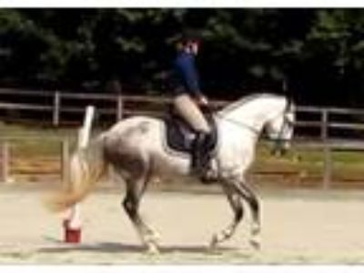 Athletic Andalusian Lusitano SP Gelding Dressage or We Prospect