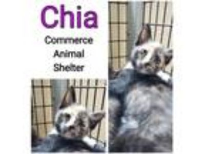 Adopt Chia a Domestic Shorthair / Mixed (short coat) cat in Commerce