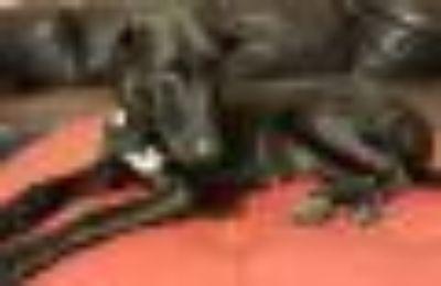Nairobi *IMMED FOSTER HOME NEEDED* Black Labrador Retriever - Doberman Pinscher Dog