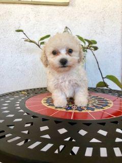 Maltipoo PUPPY FOR SALE ADN-104581 - Adorable Maltipoo Boy