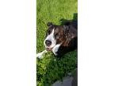Adopt Ladybug a Brindle - with White American Pit Bull Terrier / Border Collie /