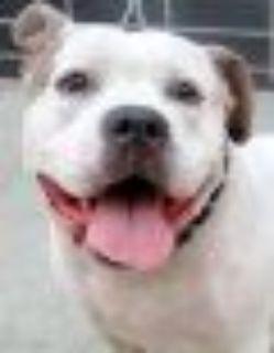 Jasmine American Staffordshire Terrier - Pit Bull Terrier Dog