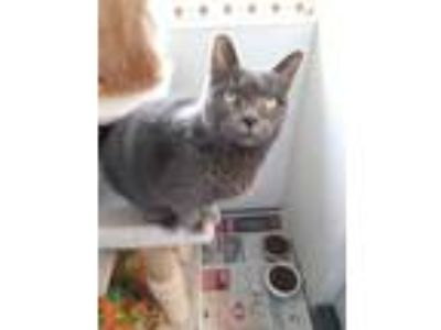 Adopt Maine a Gray or Blue Domestic Shorthair / Domestic Shorthair / Mixed cat