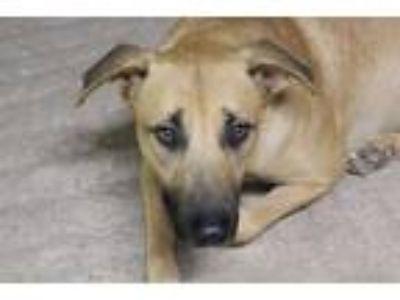 Adopt Mary/Bella a German Shepherd Dog / Labrador Retriever / Mixed dog in