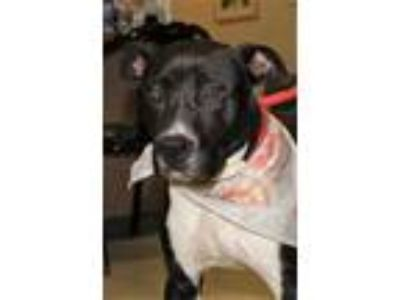 Adopt Buster a Black American Pit Bull Terrier / Mixed dog in Spartanburg