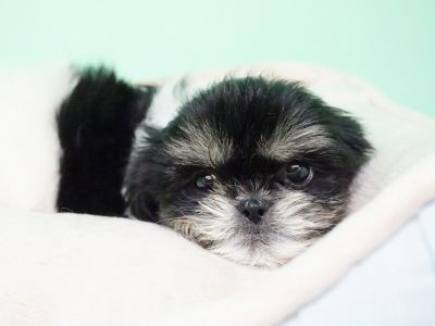 Shihtzu Puppy- Male- Pepper ($1200)