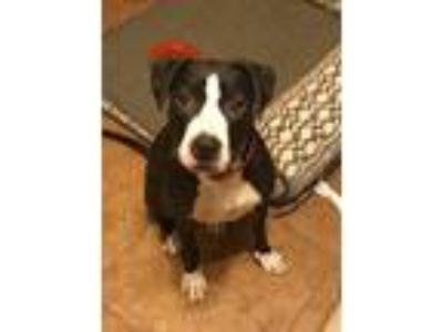 Adopt Luna a Black - with White American Pit Bull Terrier / Mixed dog in Queen