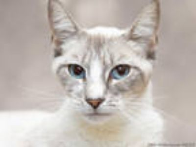 Adopt FLEAS WITHERSPOON a White (Mostly) Siamese / Mixed (short coat) cat in