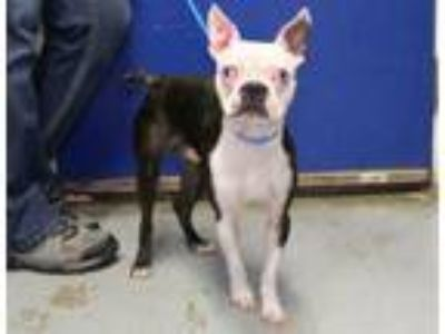 Adopt Greubak a Boston Terrier