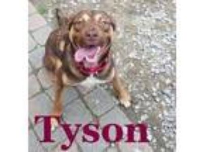 Adopt Tyson a German Shepherd Dog / Mixed dog in New Orleans, LA (23151029)