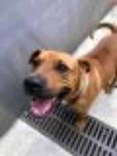 Lucas Pit Bull Terrier Dog