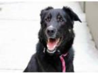 Adopt Mac a Black Shepherd (Unknown Type) / Labrador Retriever / Mixed dog in