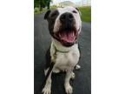 Adopt Pita a White - with Black American Staffordshire Terrier / Mixed dog in