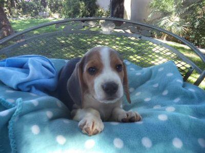 Beagle PUPPY FOR SALE ADN-96229 - Emmy Lous M 2