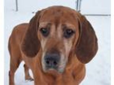 Adopt Hambone a Red/Golden/Orange/Chestnut Bloodhound / Mixed dog in Grayslake