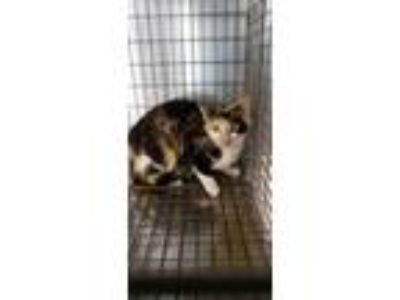 Adopt 5/15/2019 a White Domestic Shorthair / Domestic Shorthair / Mixed cat in
