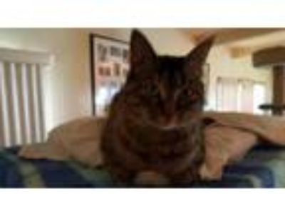 Adopt Ellie a Tabby, Domestic Short Hair